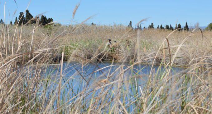 Tècnics de la Conselleria de Medi Ambient troben més de 100 gambetes d'aigua dolça a la Gola Fonda del Paisatge Protegit de la Desembocadura