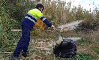 El gestor del Paisaje Protegido del río Mijares elimina los plumeros de la pampa del espacio fluvial