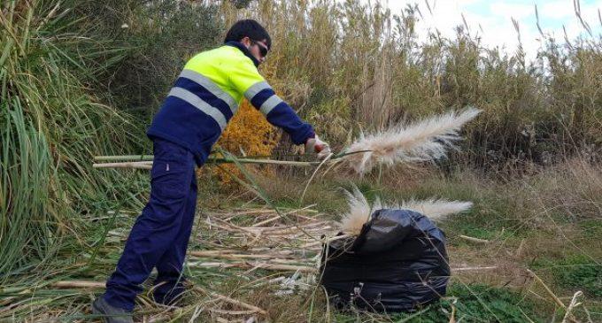 El gestor del Paisatge Protegit del riu Millars elimina les cortadèries de l'espai fluvial