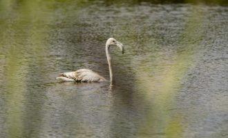 Un flamenc solitari visita les llacunes del Paisatge Protegit de la Desembocadura del riu Millars