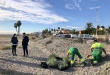 Iberdrola protege las dunas de Almassora con más de 2.000 plantas autóctonas