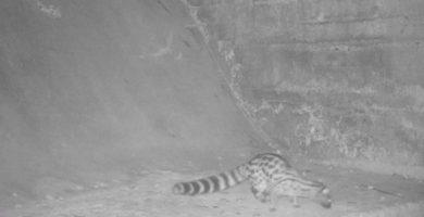 El fototrampeo continúa dando excelentes resultados de imágenes de fauna salvaje en el Paisaje Protegido de la Desembocadura del río Mijares en Vila-real