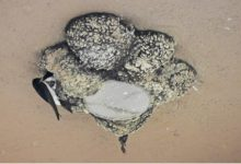 Vinaròs presenta el segon cens d'espècies d'aus urbanes