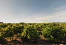 Borriana exigeix al Ministeri rectificar sobre l'ús del clorpirifos per tractar el cotonet de Sud-àfrica