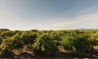 Borriana exige al Ministerio rectificar sobre el uso del clorpirifos para tratar el cotonet de Sudáfrica