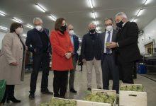 La DOP Carxofa de Benicarló rebrà 57.000 euros per a canviar els plançons afectats pel fong verticillium i recuperar la producció