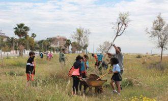Escolars participen en la plantació d'un bosc litoral de tamarius a la Malva-rosa de Borriana