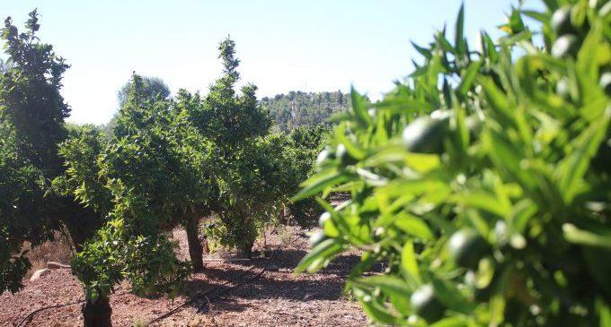 Onda insta a la Generalitat que actue contra la plaga del cotonet de Sud-àfrica i destine ajudes als agricultors