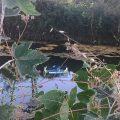 Burriana arranca una campaña para la conservación de las tortugas autóctonas en el Clot de la Mare de Déu