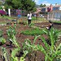 Benicàssim posa a la disposició del veïnat 20 taules de cultiu en l'hort urbà municipal